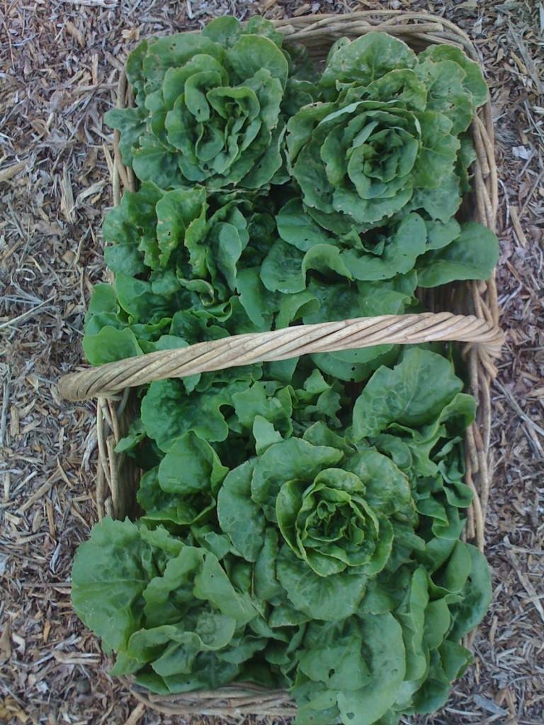 Organic lettuces