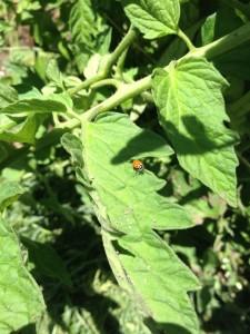 Tomato ladybug